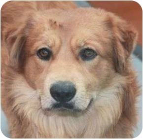 RESCUE TEDDY ID# A597575 Chow Chow Retriever Mix in Las Vegas, NV ...