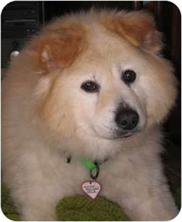 NEW: 4566216 WINTER ADULT (5 YRS) MALE CHOW CHOW/SAMOYED MIX AT